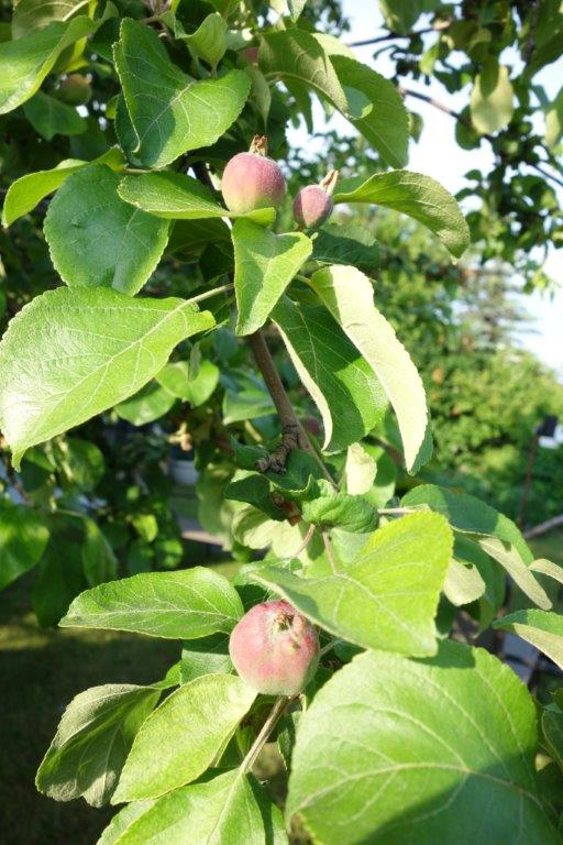 baby apples forming