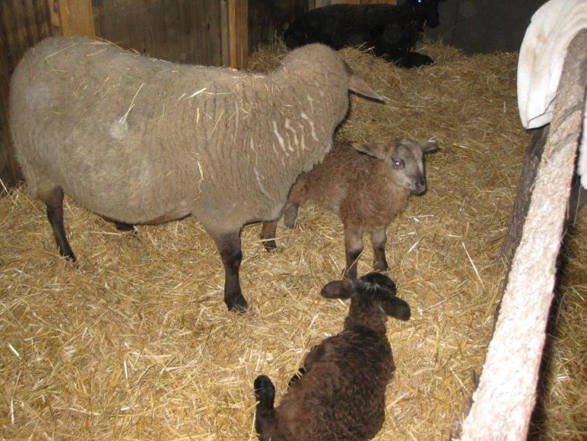 lamb5